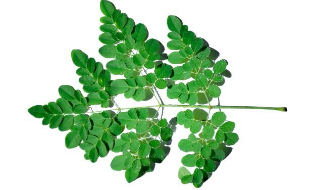 Moringa Leaves Benefit